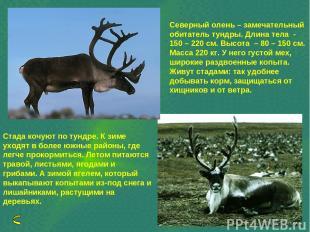 Северный олень – замечательный обитатель тундры. Длина тела - 150 – 220 см. Высо