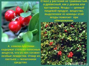 Ствол у растения не травянистый, а древесный, как у дерева или кустарника. Ягоды