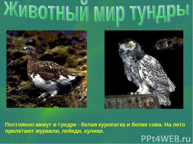 Постоянно живут в тундре - белая куропатка и белая сова. На лето прилетают журавли, лебеди, кулики.