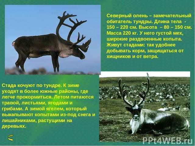 Северный олень – замечательный обитатель тундры. Длина тела - 150 – 220 см. Высота – 80 – 150 см. Масса 220 кг. У него густой мех, широкие раздвоенные копыта. Живут стадами: так удобнее добывать корм, защищаться от хищников и от ветра. Стада кочуют …