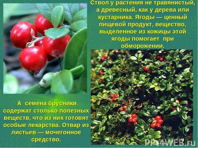 Ствол у растения не травянистый, а древесный, как у дерева или кустарника. Ягоды — ценный пищевой продукт, вещество, выделенное из кожицы этой ягоды помогает при обморожении. А семена брусники содержат столько полезных веществ, что из них готовят ос…