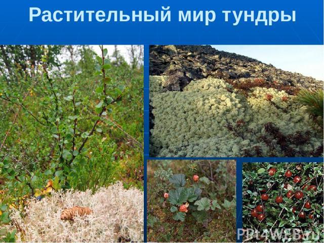 Растительный мир тундры 1.Карликовая береза. Это маленькое деревце по возрасту старше твоих родителей! 2.Лишайник ягель – основной источник питания северных оленей. Лишайники растут очень медленно – всего на толщину спички в год. 3.Морошка 4.Клюква …