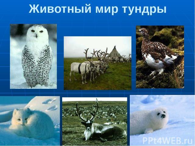 Животный мир тундры 1.Полярная сова 2.Северные олени 3. Белая куропатка 4.Песец 5.Белёк