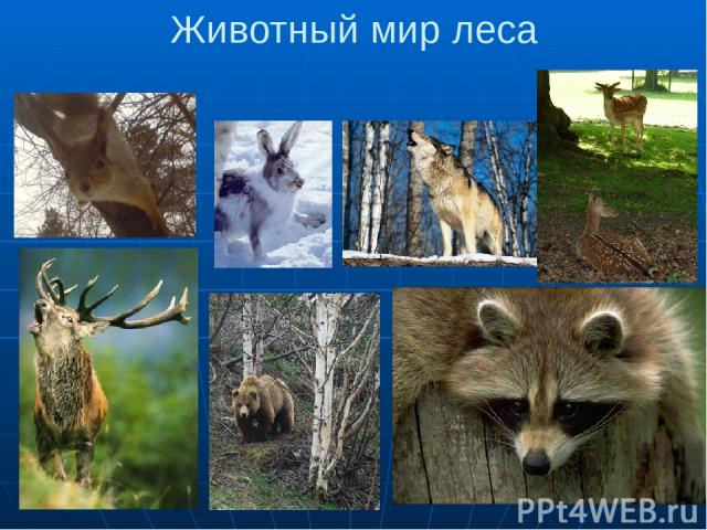 Животный мир леса 1. елка 2.Заяц 3.Волк 4,5. Олени 6. Медведь 7.Енот