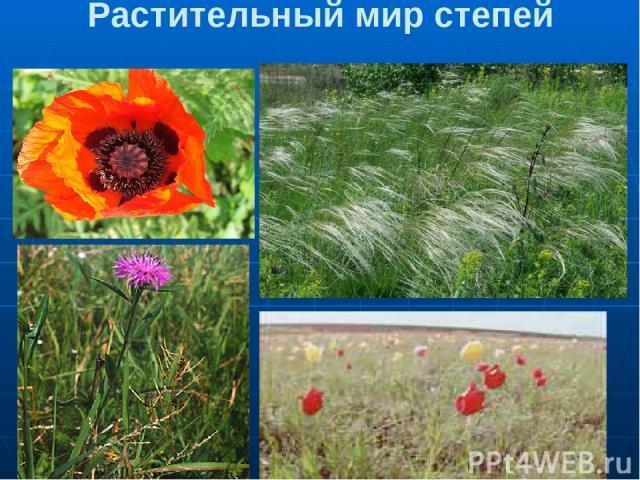 Растительный мир степей 1.Мак 2.Ковыль 3.Василек 4. Тюльпан