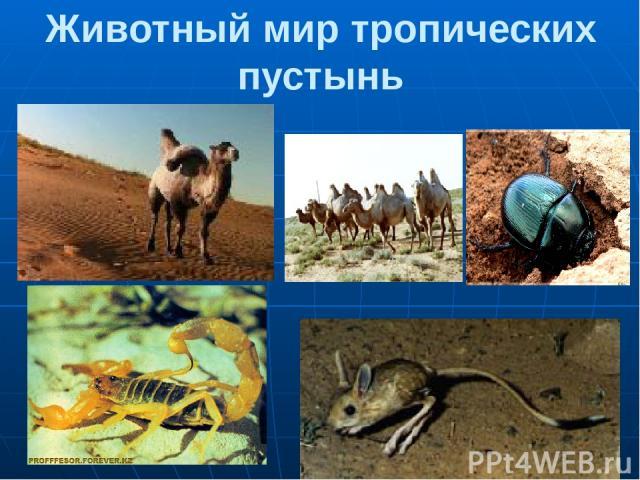 Животный мир тропических пустынь 1,2. Верблюды 3.Жук-скарабей 4.Скорпион 5. Тушканчик