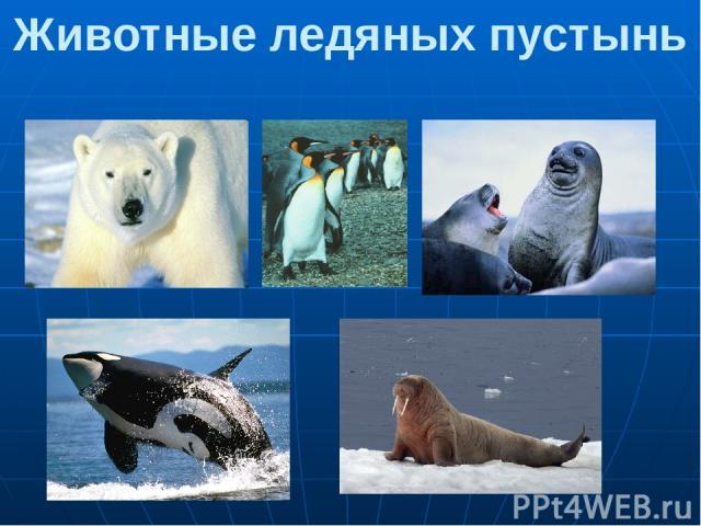 Животные ледяных пустынь 1.Белый медведь 2.Императорский пингвин 3.Тюлени. 4. Касатка 5.Морж