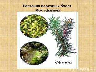 Растения верховых болот. Мох сфагнум.