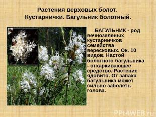 Растения верховых болот. Кустарнички. Багульник болотный. БАГУЛЬНИК - род вечноз