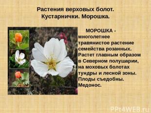 Растения верховых болот. Кустарнички. Морошка. МОРОШКА - многолетнее травянистое