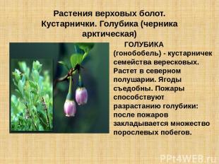 Растения верховых болот. Кустарнички. Голубика (черника арктическая) ГОЛУБИКА (г