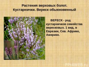 Растения верховых болот. Кустарнички. Вереск обыкновенный ВЕРЕСК - род кустарнич