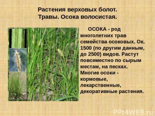 Растения верховых болот. Травы. Осока волосистая. ОСОКА - род многолетних трав с