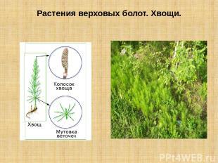 Растения верховых болот. Хвощи.