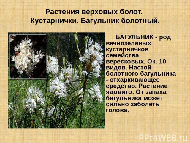 Растения верховых болот. Кустарнички. Багульник болотный. БАГУЛЬНИК - род вечнозеленых кустарничков семейства вересковых. Ок. 10 видов. Настой болотного багульника - отхаркивающее средство. Растение ядовито. От запаха багульника может сильно заболет…