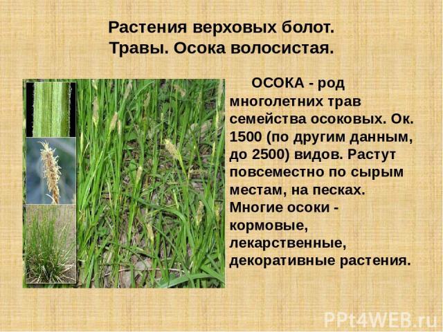 Растения верховых болот. Травы. Осока волосистая. ОСОКА - род многолетних трав семейства осоковых. Ок. 1500 (по другим данным, до 2500) видов. Растут повсеместно по сырым местам, на песках. Многие осоки - кормовые, лекарственные, декоративные растения.