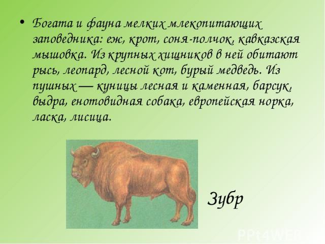 Зубр Богата и фауна мелких млекопитающих заповедника: еж, крот, соня-полчок, кавказская мышовка. Из крупных хищников в ней обитают рысь, леопард, лесной кот, бурый медведь. Из пушных — куницы лесная и каменная, барсук, выдра, енотовидная собака, евр…