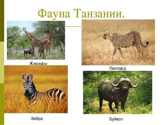 Фауна Танзании. Жирафы Леопард Зебра Буйвол