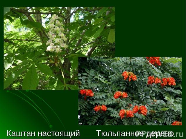 Каштан настоящий Тюльпанное дерево