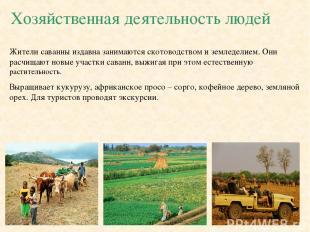 Хозяйственная деятельность людей Жители саванны издавна занимаются скотоводством