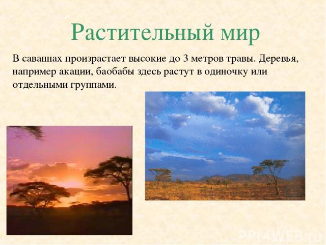 Растительный мир В саваннах произрастает высокие до 3 метров травы. Деревья, например акации, баобабы здесь растут в одиночку или отдельными группами.