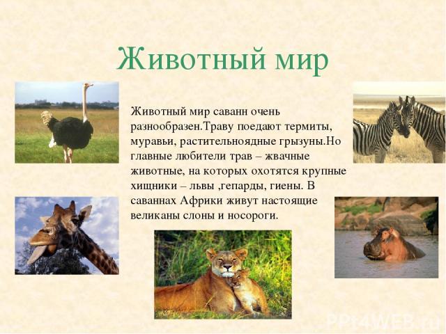 Животный мир Животный мир саванн очень разнообразен.Траву поедают термиты, муравьи, растительноядные грызуны.Но главные любители трав – жвачные животные, на которых охотятся крупные хищники – львы ,гепарды, гиены. В саваннах Африки живут настоящие в…