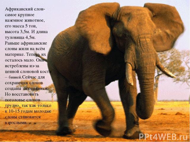 Африканский слон- самое крупное наземное животное, его масса 5 тон, высота 3,5м. И длина туловища 4,5м. Раньше африканские слоны жили на всём материке. Теперь их осталось мало. Они истреблены из-за ценной слоновой кости – бивней.Сейчас для сохранени…