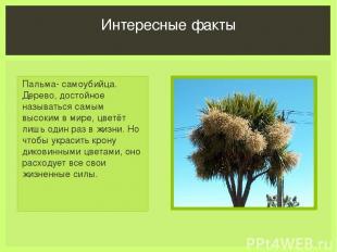Пальма- самоубийца. Дерево, достойное называться самым высоким в мире, цветёт ли
