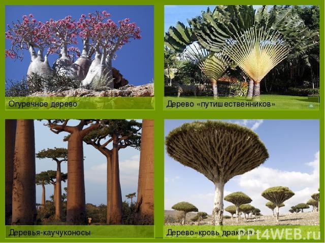 Лесами покрыто всего 10%.Основная масса расположена на востоке Природные богатства Огуречное дерево Дерево «путишественников» Деревья-каучуконосы Дерево»кровь дракона»