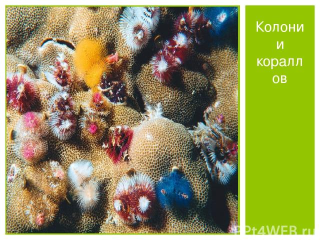 Колонии кораллов