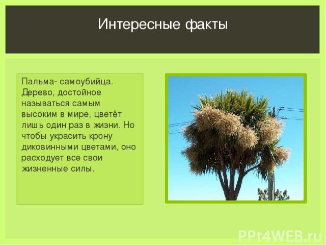 Пальма- самоубийца. Дерево, достойное называться самым высоким в мире, цветёт лишь один раз в жизни. Но чтобы украсить крону диковинными цветами, оно расходует все свои жизненные силы. Интересные факты