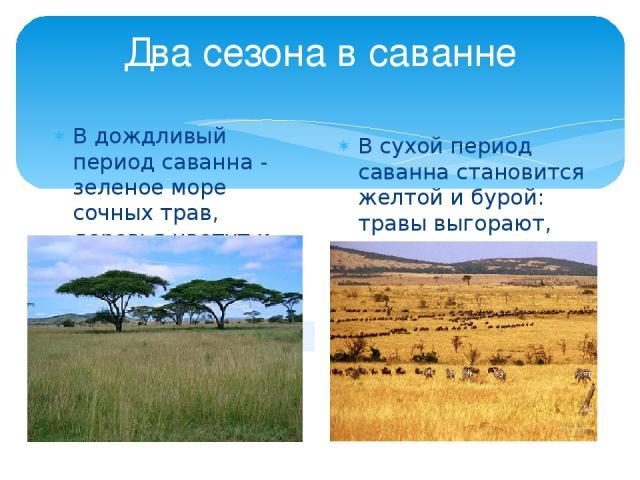 Два сезона в саванне В дождливый период саванна - зеленое море сочных трав, деревья цветут и плодоносят. В сухой период саванна становится желтой и бурой: травы выгорают, листья с деревьев облетают
