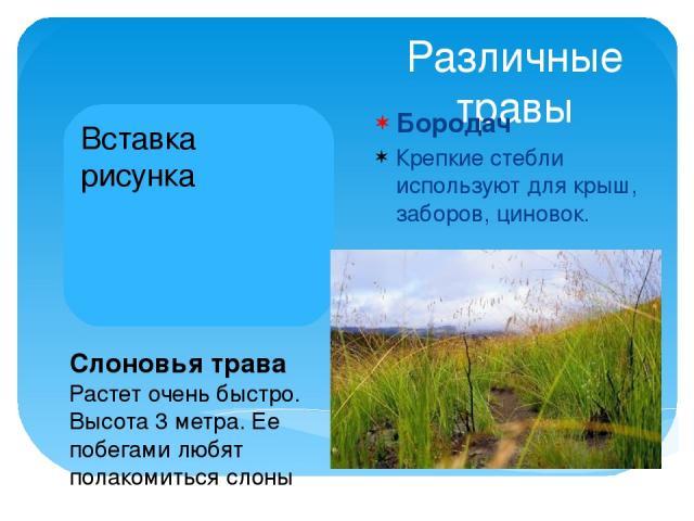 Различные травы Бородач Крепкие стебли используют для крыш, заборов, циновок. Слоновья трава Растет очень быстро. Высота 3 метра. Ее побегами любят полакомиться слоны