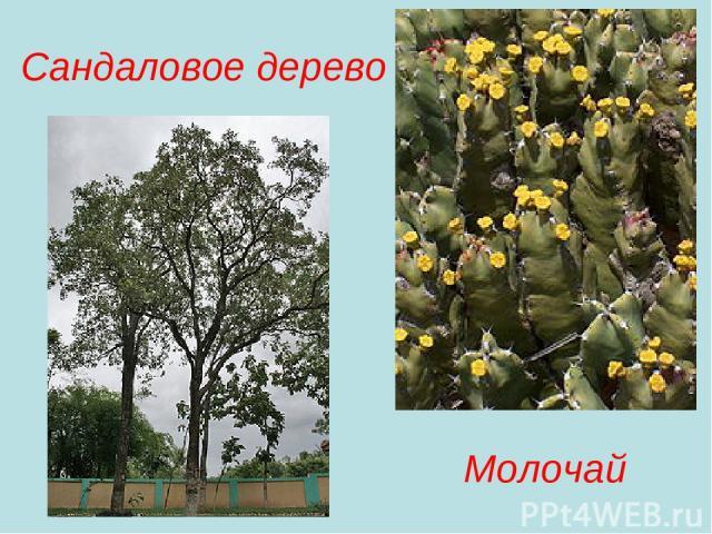 Сандаловое дерево Молочай