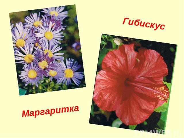 Гибискус Маргаритка