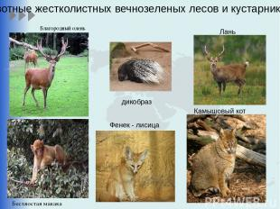 Благородный олень Камышовый кот Лань Животные жестколистных вечнозеленых лесов и
