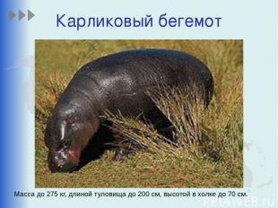 Карликовый бегемот Масса до 275 кг, длиной туловища до 200 см, высотой в холке д