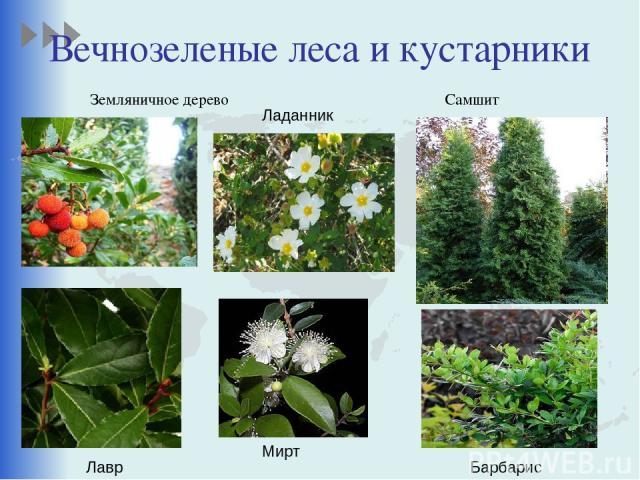 Вечнозеленые леса и кустарники Земляничное дерево Самшит Ладанник Лавр Мирт Барбарис