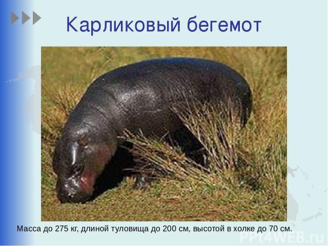 Карликовый бегемот Масса до 275 кг, длиной туловища до 200 см, высотой в холке до 70 см.