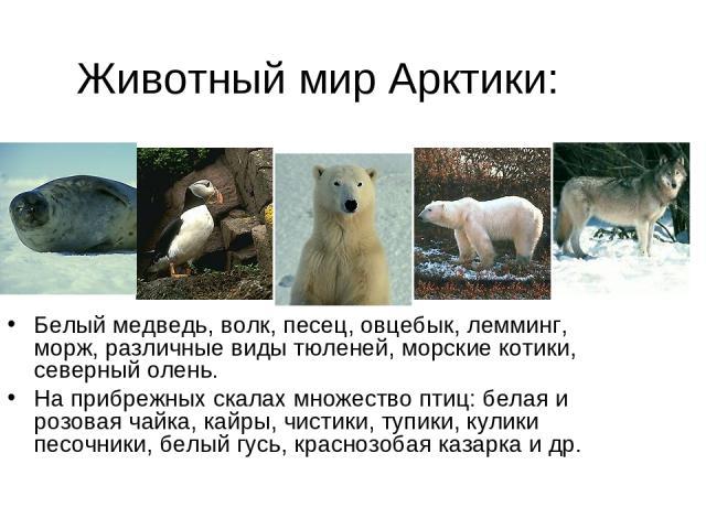 Животный мир Арктики: Белый медведь, волк, песец, овцебык, лемминг, морж, различные виды тюленей, морские котики, северный олень. На прибрежных скалах множество птиц: белая и розовая чайка, кайры, чистики, тупики, кулики песочники, белый гусь, красн…