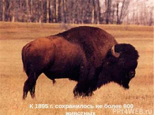К 1895 г. сохранилось не более 800 животных