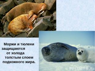 Моржи и тюлени защищаются от холода толстым слоем подкожного жира.