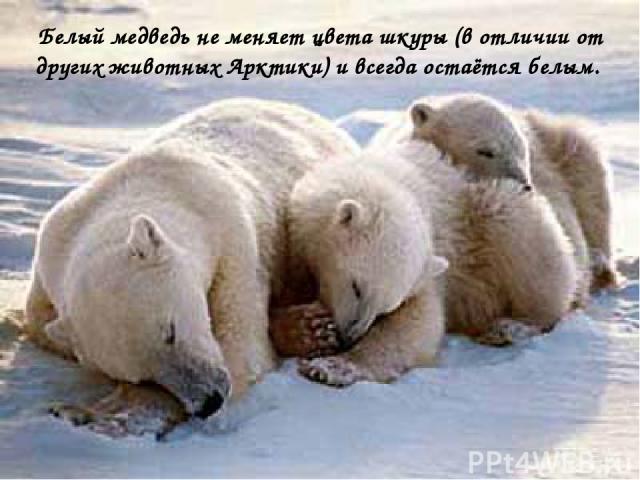 Белый медведь не меняет цвета шкуры (в отличии от других животных Арктики) и всегда остаётся белым.
