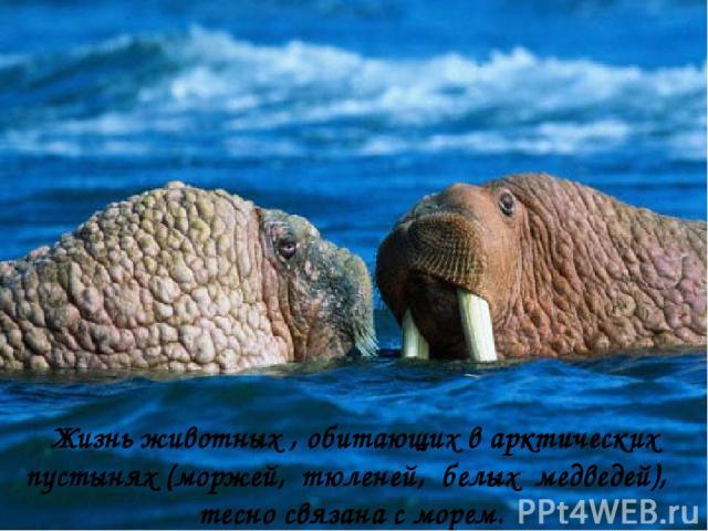 Жизнь животных , обитающих в арктических пустынях (моржей, тюленей, белых медведей), тесно связана с морем.