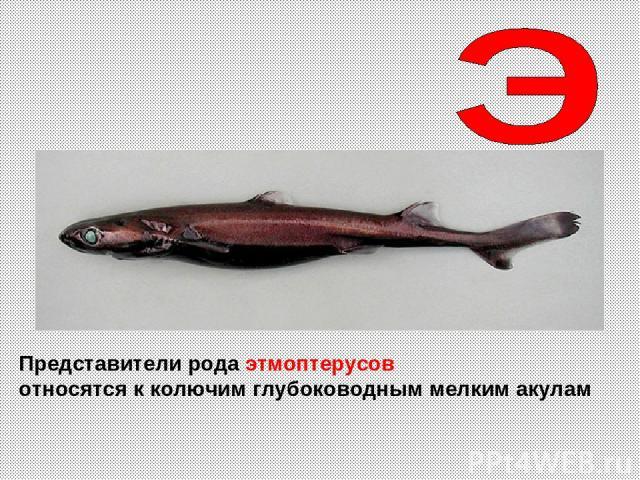 Представители рода этмоптерусов относятся к колючим глубоководным мелким акулам