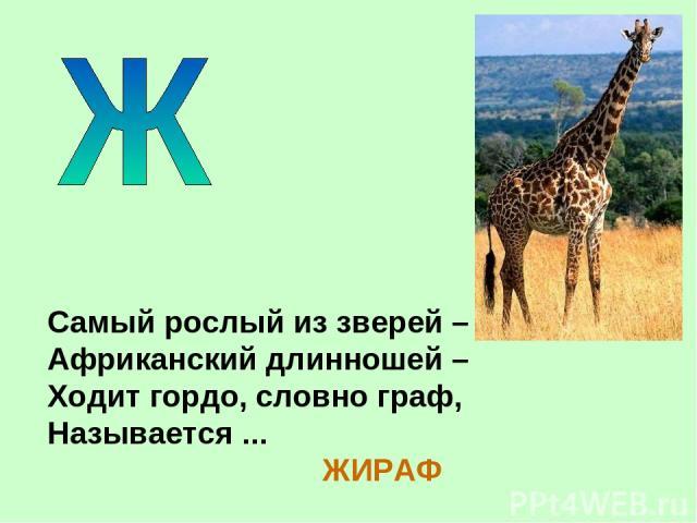 Самый рослый из зверей – Африканский длинношей – Ходит гордо, словно граф, Называется ... ЖИРАФ