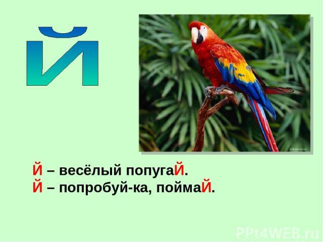Й – весёлый попугаЙ. Й – попробуй-ка, поймаЙ.