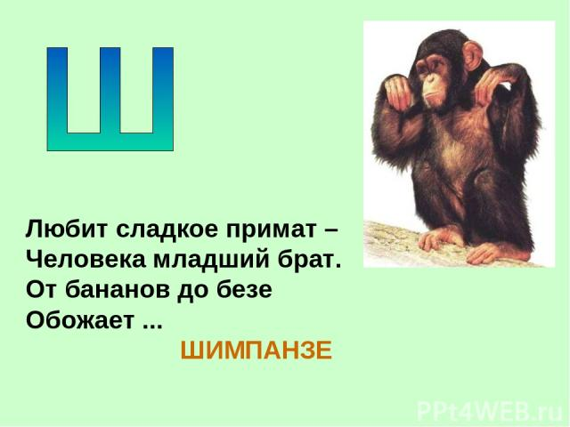Любит сладкое примат – Человека младший брат. От бананов до безе Обожает ... ШИМПАНЗЕ
