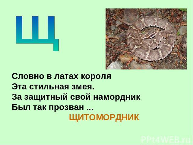 Словно в латах короля Эта стильная змея. За защитный свой намордник Был так прозван ... ЩИТОМОРДНИК