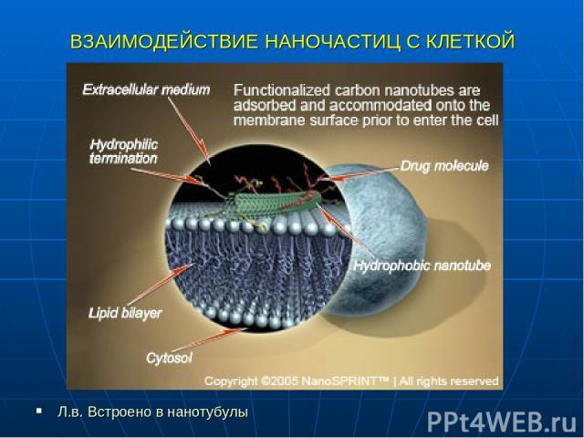 ВЗАИМОДЕЙСТВИЕ НАНОЧАСТИЦ С КЛЕТКОЙ Л.в. Встроено в нанотубулы
